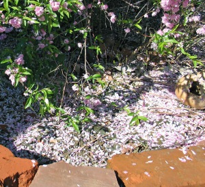 Little pink petals fall all over the ground when Otherma's bush sheds its blossoms.