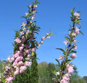 The pink blossoms make a beautiful contrast to the blue sky and new, green foliage.