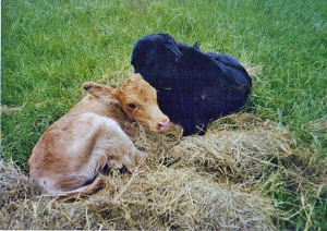 This calf was deserted by his mom, and our dog took over its care.