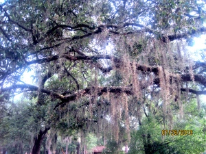 Mmm, Spanish moss is so prevalent in central Florida.