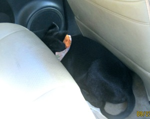 Scared little pup hides his head on the way home to Alabama.