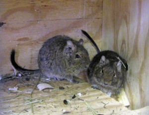 The science class degus.