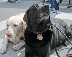 St Patrick's Day labradore retrievers