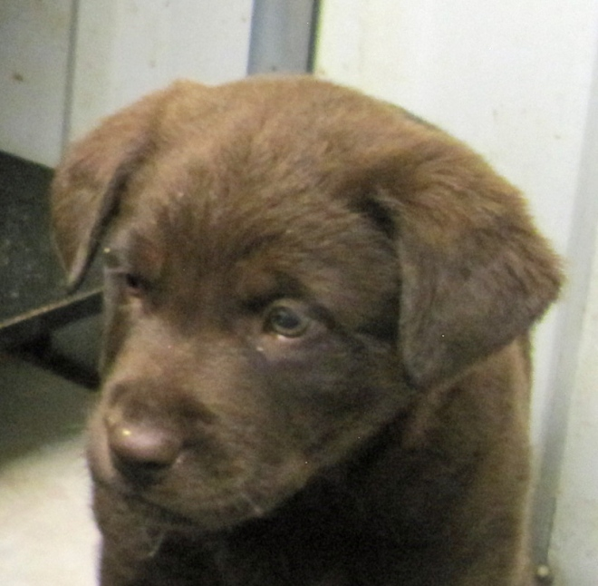Adorable chocolate lab up for adoption.