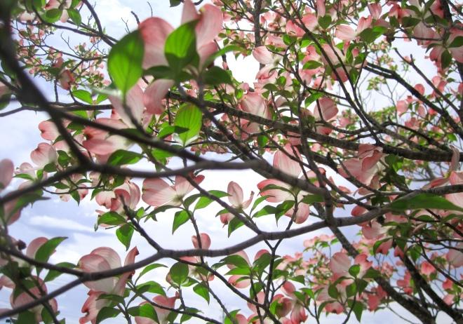 Pink Dogwood in Madison, Alabama.