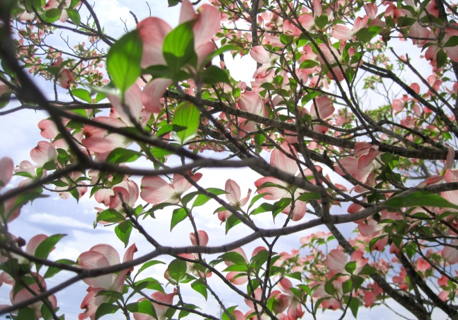 Pink Dogwood in Madison, Alabama.