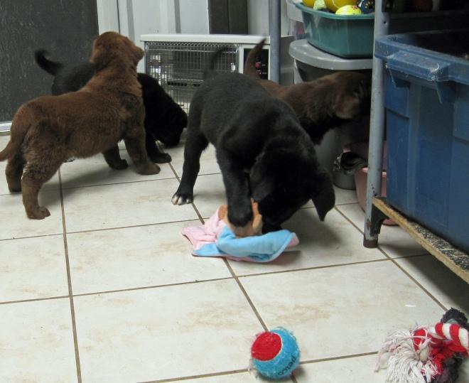 Puppies_everywhere2