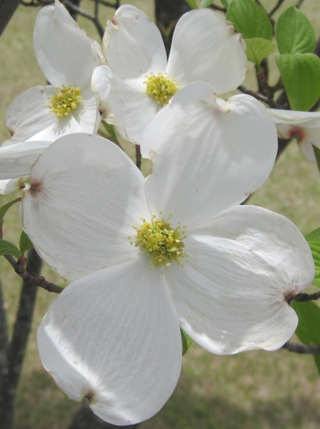 White Dogwood in Madison, Alabama.