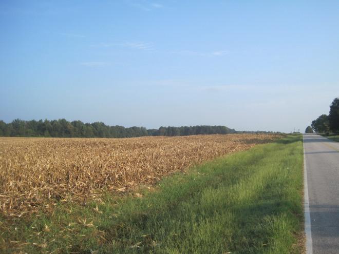Shorn cornfield.