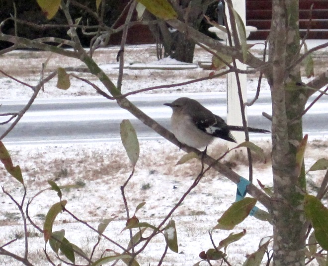 This big, fat little bird likes the snow...maybe.