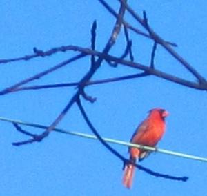 Cute cardinal.