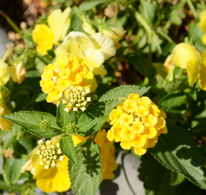 Potted Lantana brings curb appeal to busy streets.