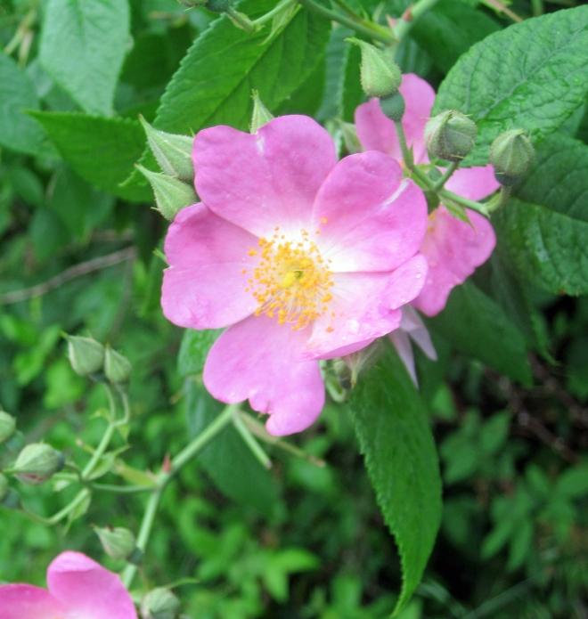 wild_roses2