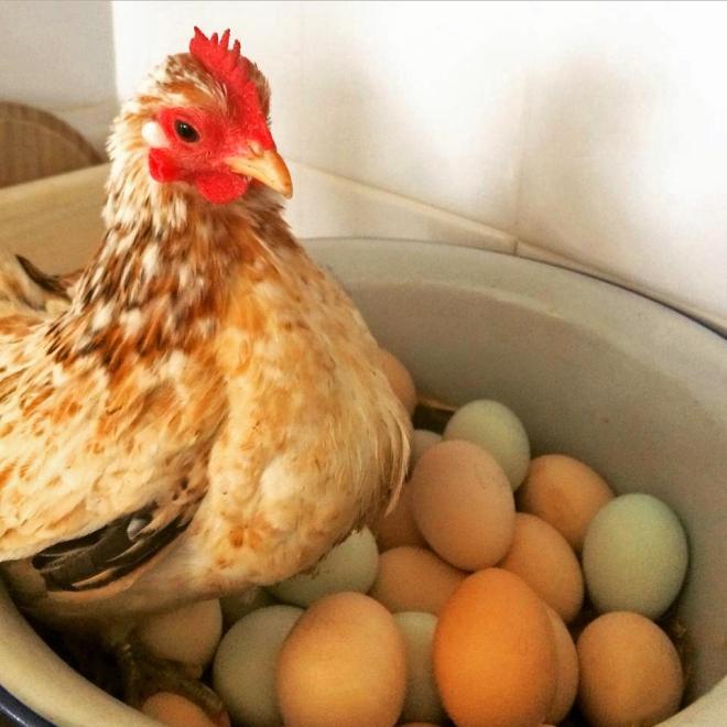 hen_eggs